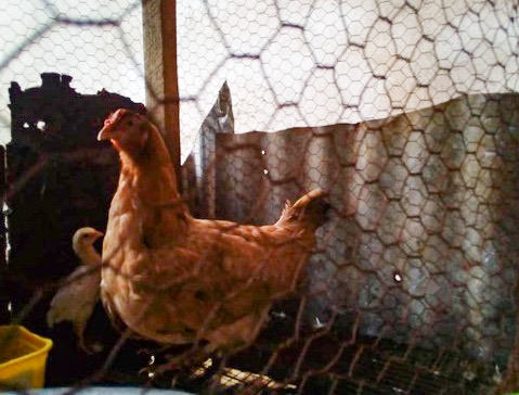 Raising Chickens and Building Confidence